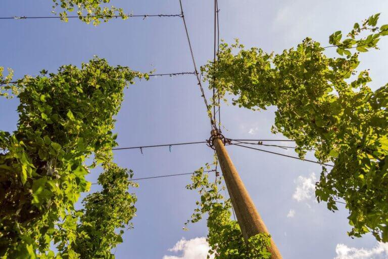 Zet eens een hopplant in de tuin